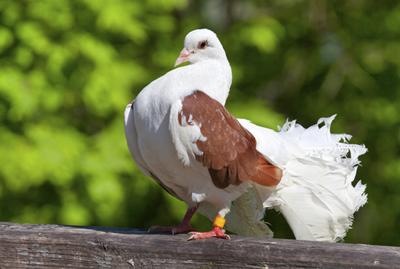 EM Probiotic in farming of pigeons - image